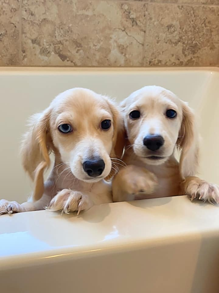 English Cream Miniature Dachshund Puppies For Sale