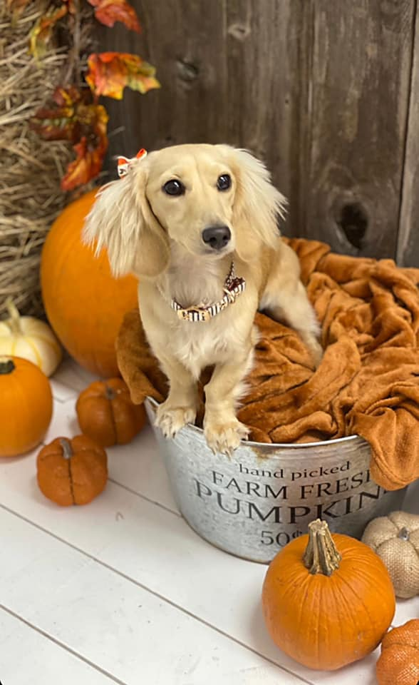 English Cream Miniature Dachshund Breeder - Crème of the Crop Dachshunds Past Litter Puppies 4