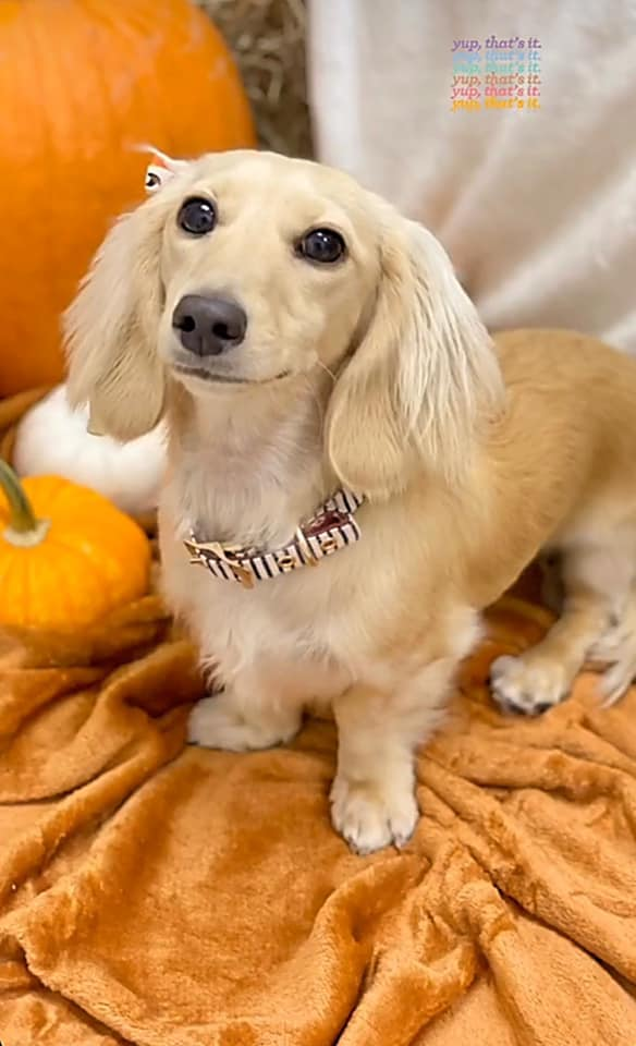 English Cream Miniature Dachshund Breeder - Crème of the Crop Dachshunds Past Litter Puppies 2