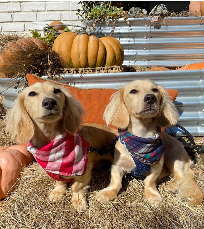 English Cream Miniature Dachshund Dog Breeder Texas - Crème of the Crop Dachshunds Past Litter Puppies 6