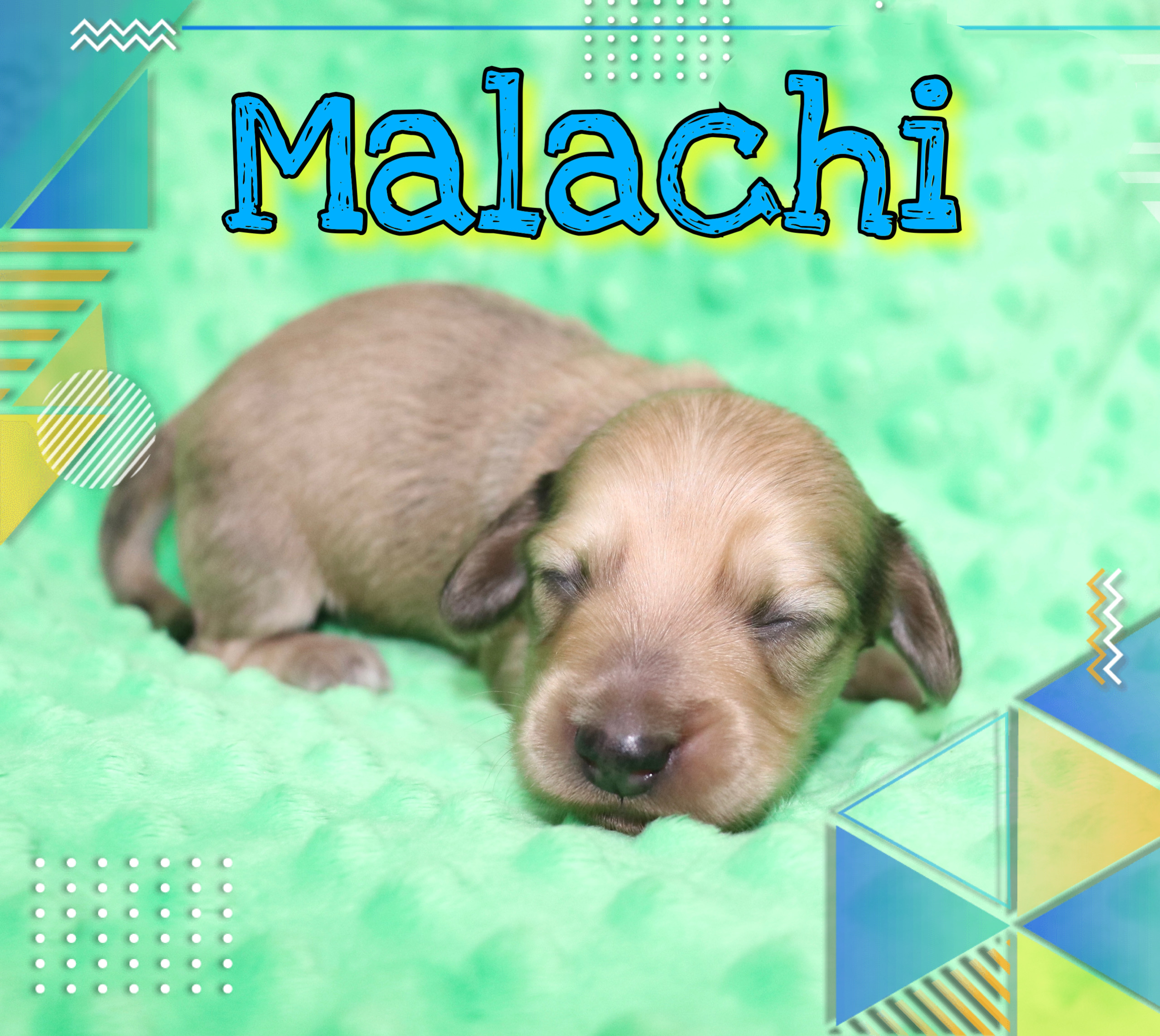 Creme of the Crop Dachshunds - Malachi Puppy 10