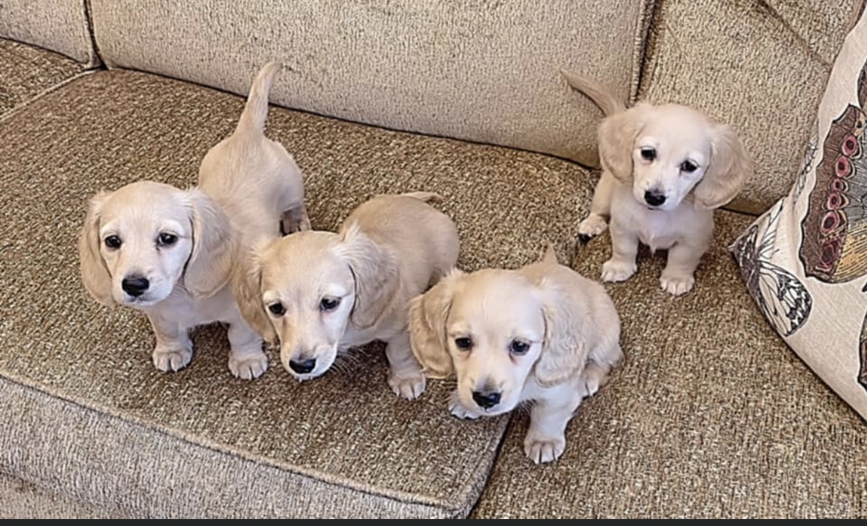 Crème of the Crop Dachshunds - English Miniature Cream Dachshund Litter of Puppies