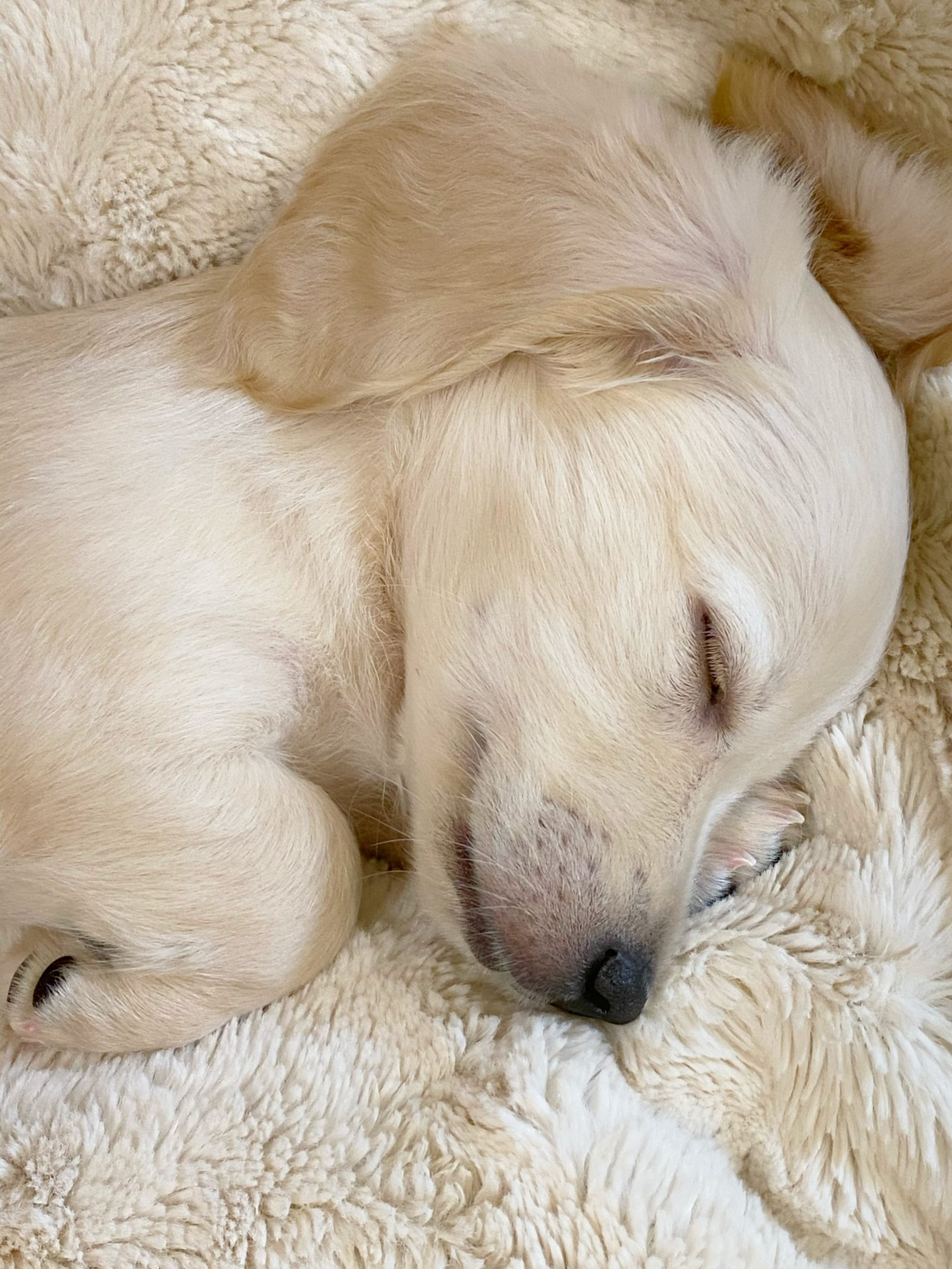 Crème of the Crop English Cream Miniature Dachshunds - Previous Litter Puppies 7