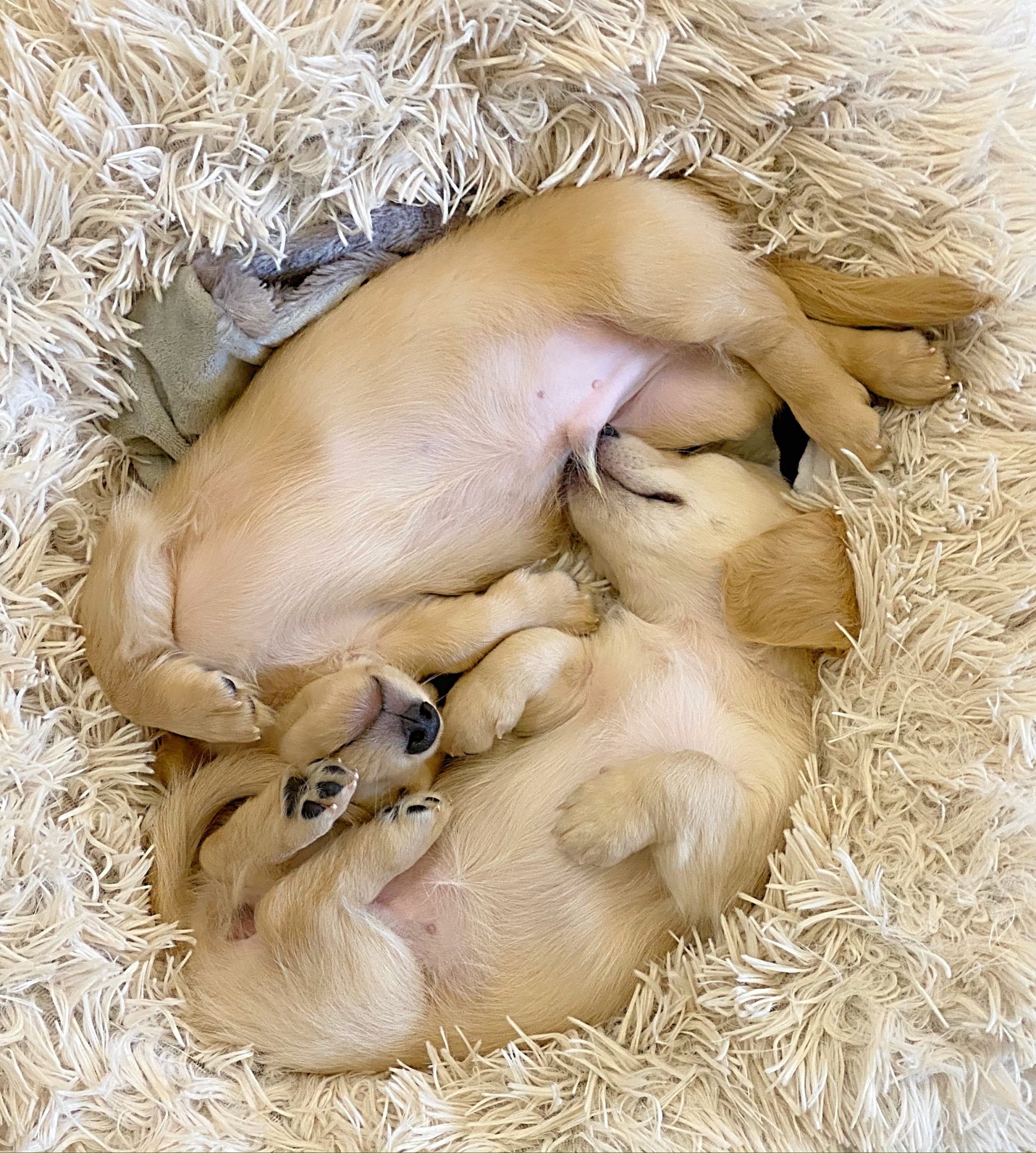 Crème of the Crop English Cream Miniature Dachshunds - Previous Litter Puppies 1