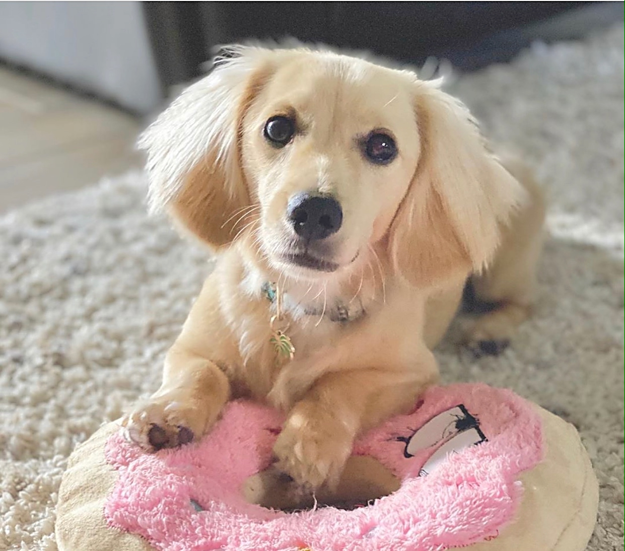 Crème of the Crop English Cream Miniature Dachshunds - Previous Litter Puppies 2