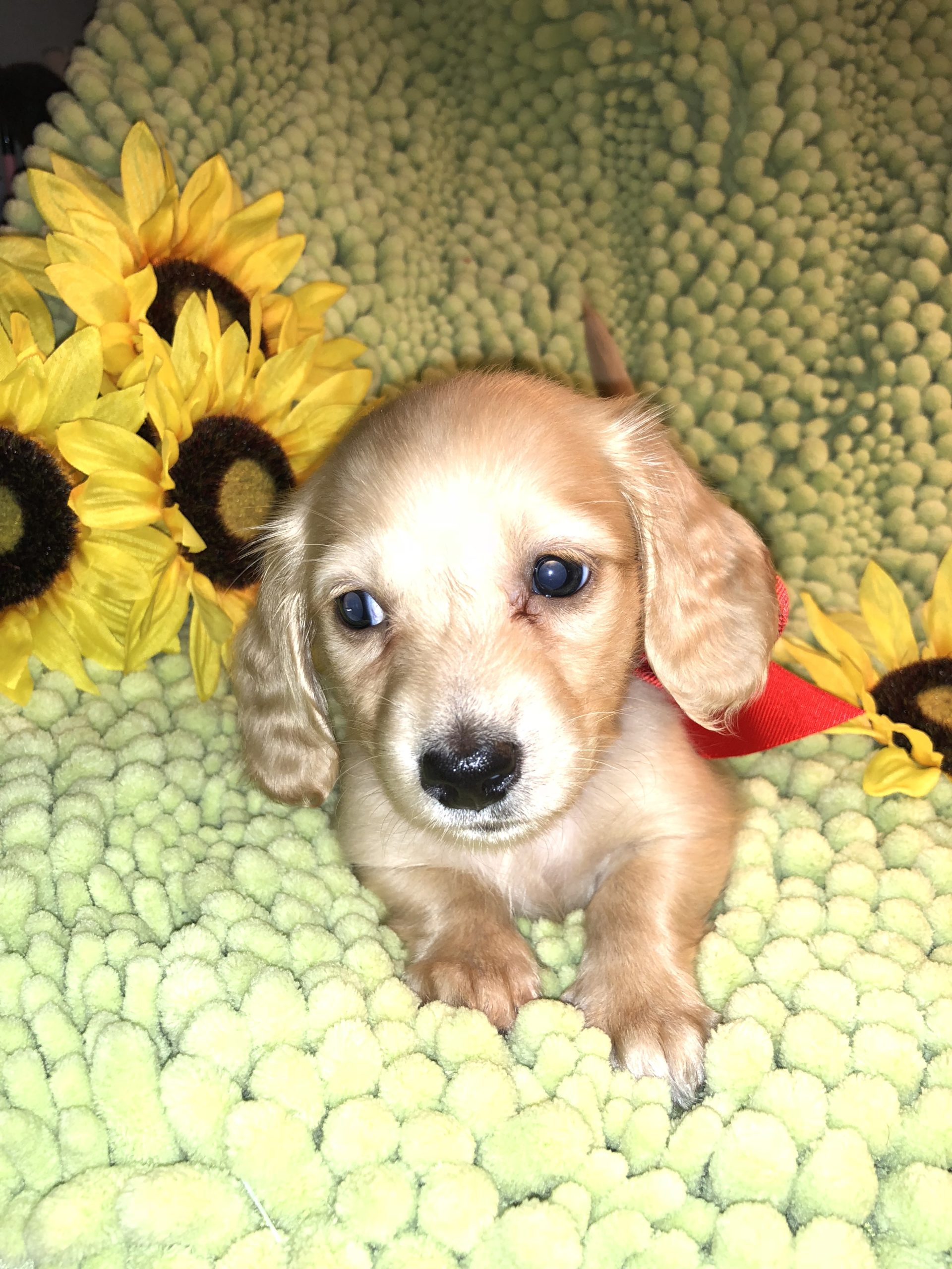 Creme of the Crop Dachshunds Puppy Testimonial/Review