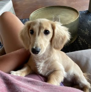Creme of the Crop Dachshunds - Testimonial Review 3