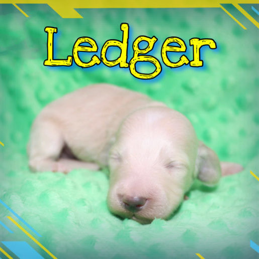 Creme of the Crop Dachshunds - Ledger Puppy 9