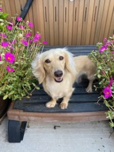Cesare Creme of the Crop Dachshunds Testimonial Review