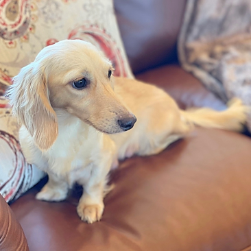 Crème of the Crop English Cream Miniature Dachshunds - Cesare