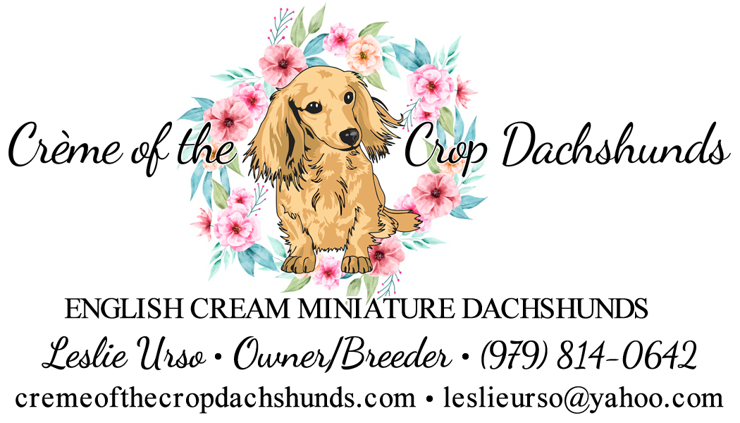 Creme of the Crop Dachshunds - English Cream Miniature Dachshunds