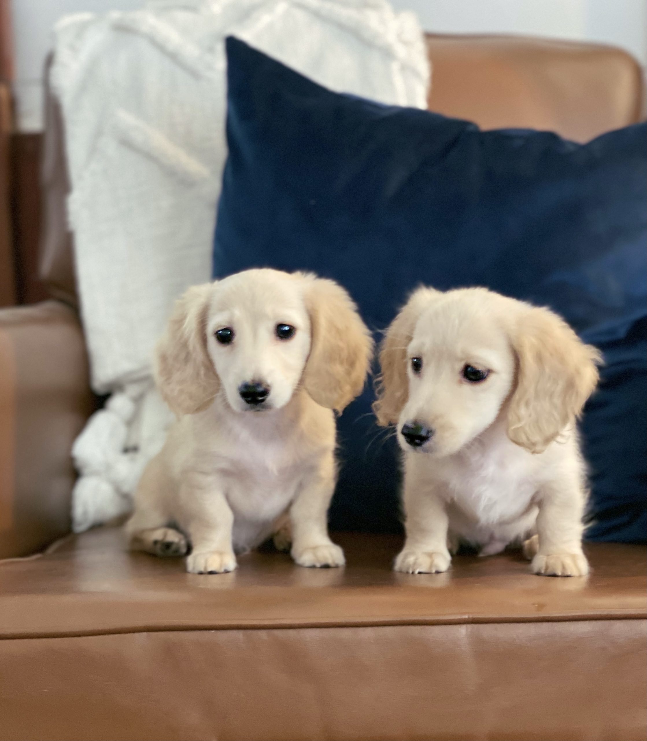 Creme of the Crop Dachshunds - Testimonial Review 9